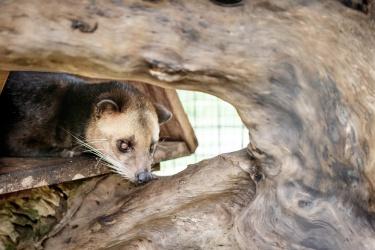 Luwak (cibetka)