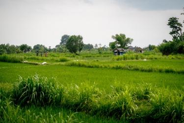 A jedeme domů na rýžové pole