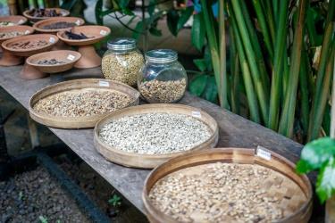 Třídění cibetkové kávy (Kopi luwak) na robustu a arabicu